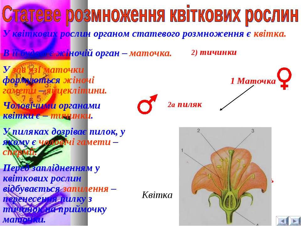 Квітка 2) тичинки 1 Маточка 1а зав'язь 2а пиляк У квіткових рослин органом ст...