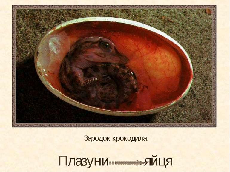 Зародок крокодила Плазуни яйця