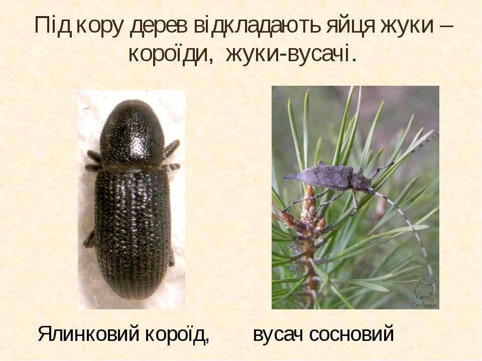 Під кору дерев відкладають яйця жуки – короїди, жуки-вусачі. Ялинковий короїд...