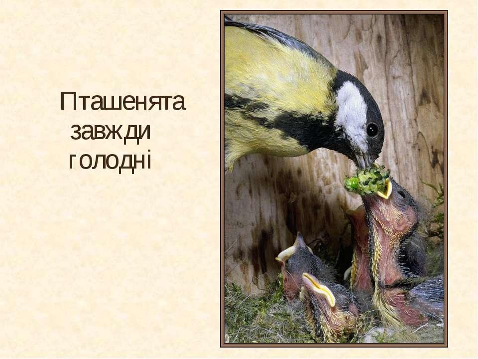Пташенята завжди голодні