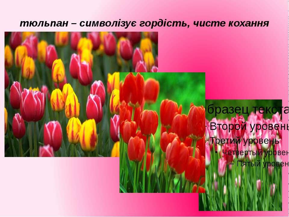 тюльпан – символізує гордість, чисте кохання