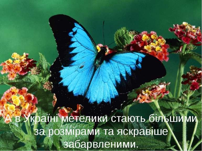 А в Україні метелики стають більшими за розмірами та яскравіше забарвленими.