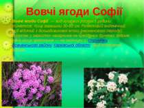 Вовчі ягоди Софії Вовчі ягоди Софії — вид кущових рослин з родини тимелеєві....
