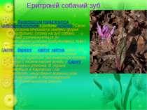 Еритроній собачий зуб Рідкіснабагаторічнатрав'янистаіцибулинна рослиназ ...