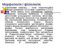 Морфологія і фізіологія. Трепонеми сифілісу - тонкі спіралеподібні бактерії ...