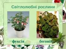 Світлолюбні рослини фуксія бегонія