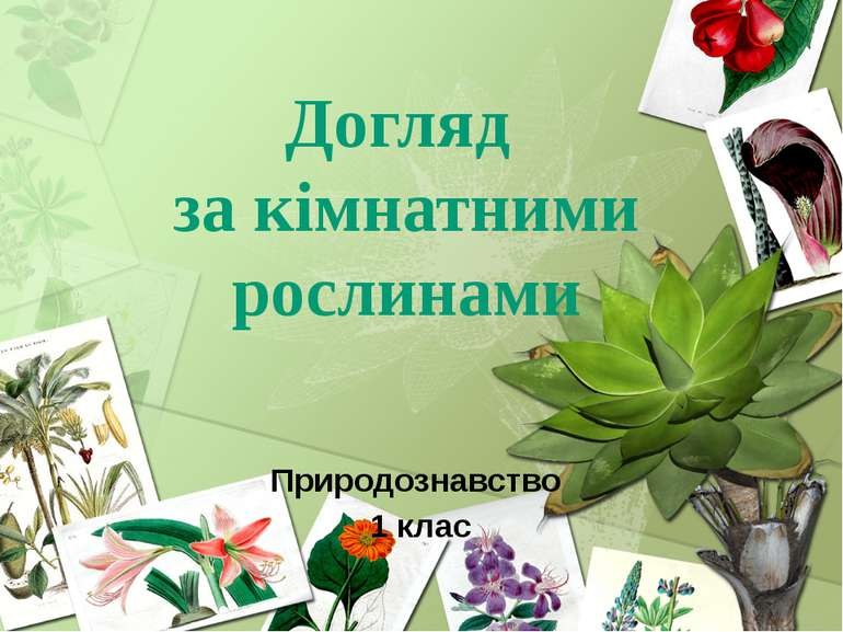 Догляд за кімнатними рослинами Природознавство 1 клас