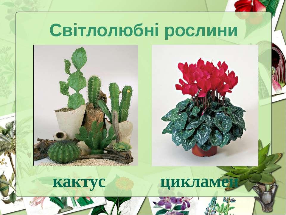 Світлолюбні рослини кактус цикламен