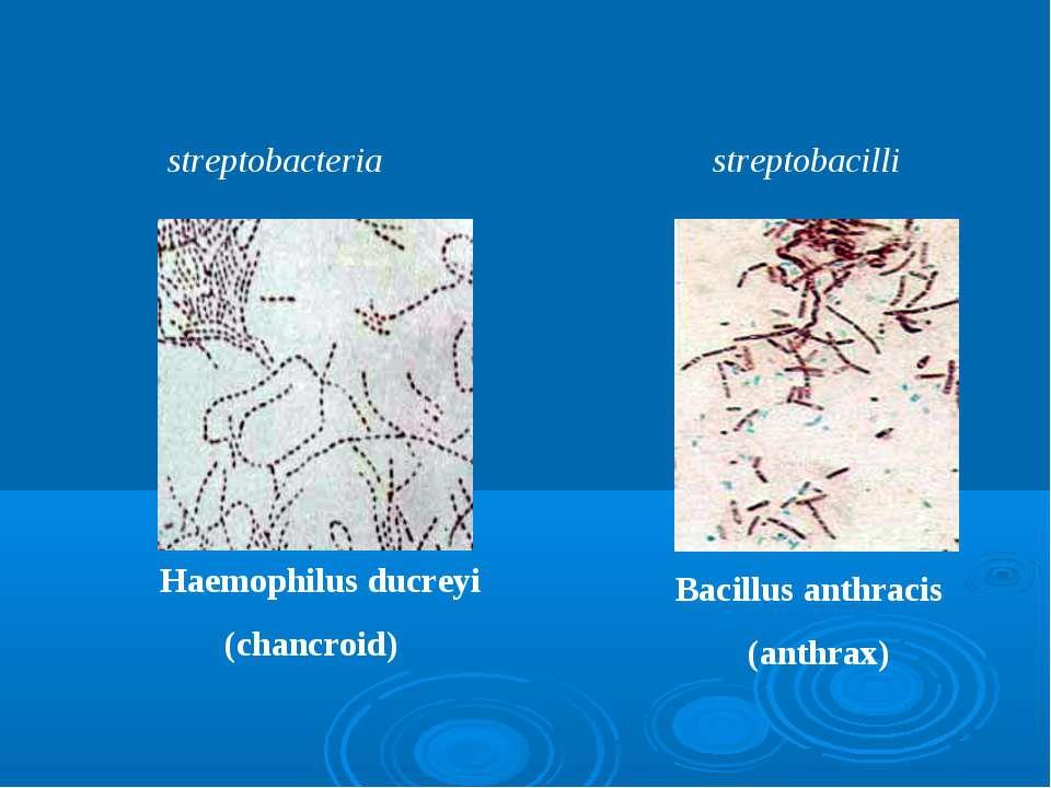 streptobacteria streptobacilli Haemophilus ducreyi (chancroid) Bacillus anthr...