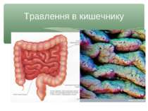 Травлення в кишечнику
