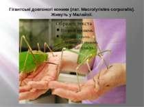 Гігантські довгоногі коники (лат. Macrolyristes corporalis). Живуть у Малайзії.