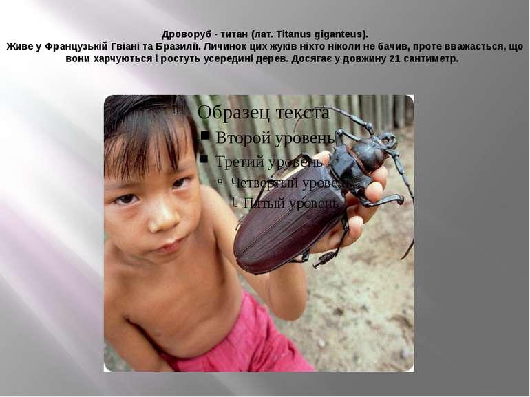 Дроворуб - титан (лат. Titanus giganteus). Живе у Французькій Гвіані та Брази...