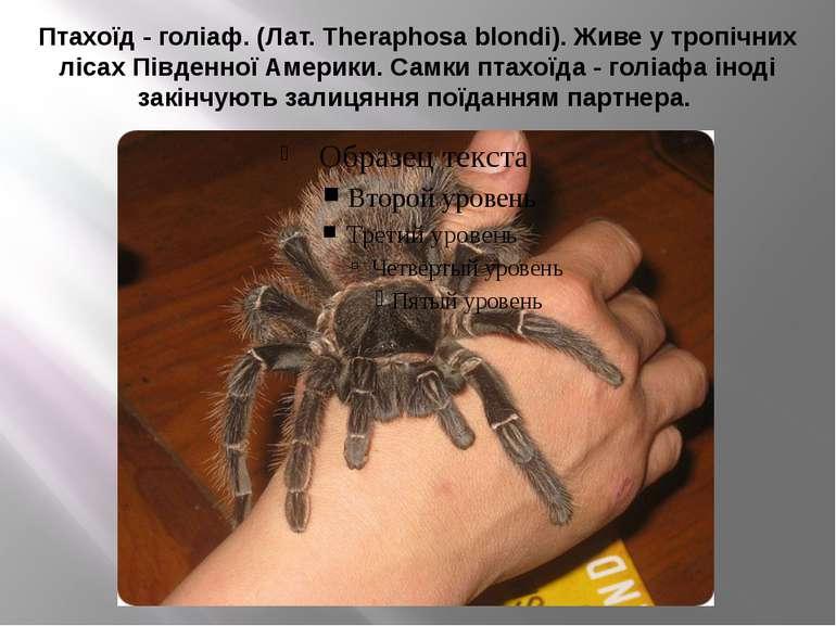 Птахоїд - голіаф. (Лат. Theraphosa blondi). Живе у тропічних лісах Південної ...