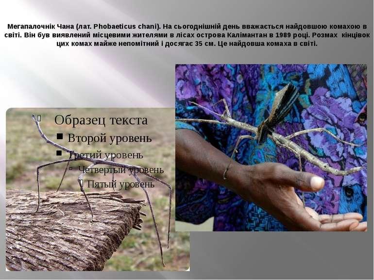 Мегапалочнік Чана (лат. Phobaeticus chani). На сьогоднішній день вважається н...