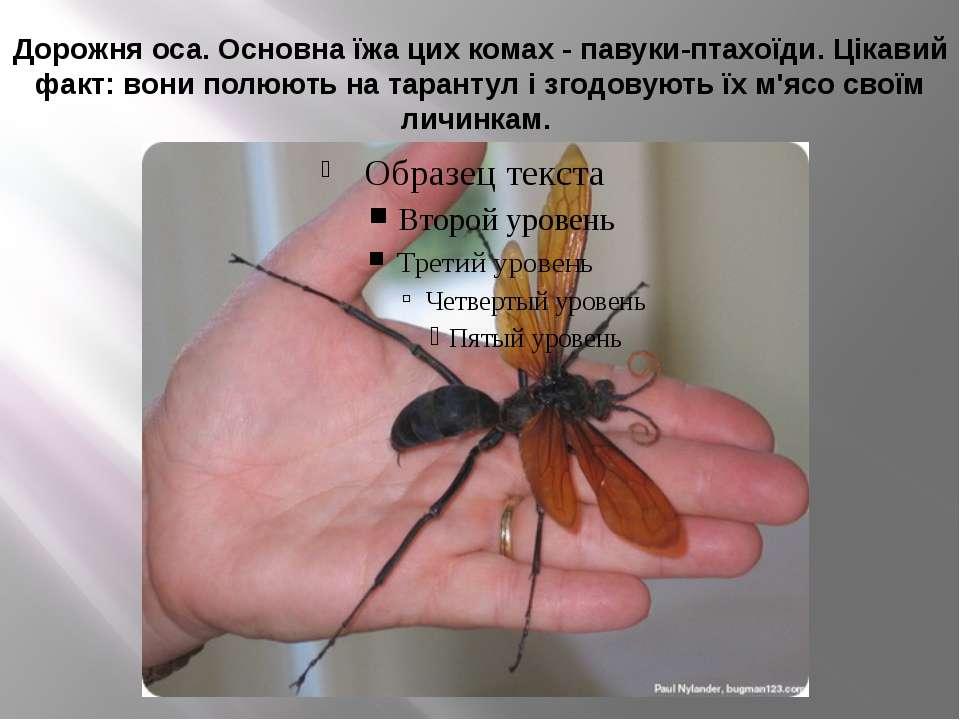 Дорожня оса. Основна їжа цих комах - павуки-птахоїди. Цікавий факт: вони полю...