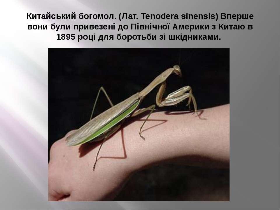 Китайський богомол. (Лат. Tenodera sinensis) Вперше вони були привезені до Пі...