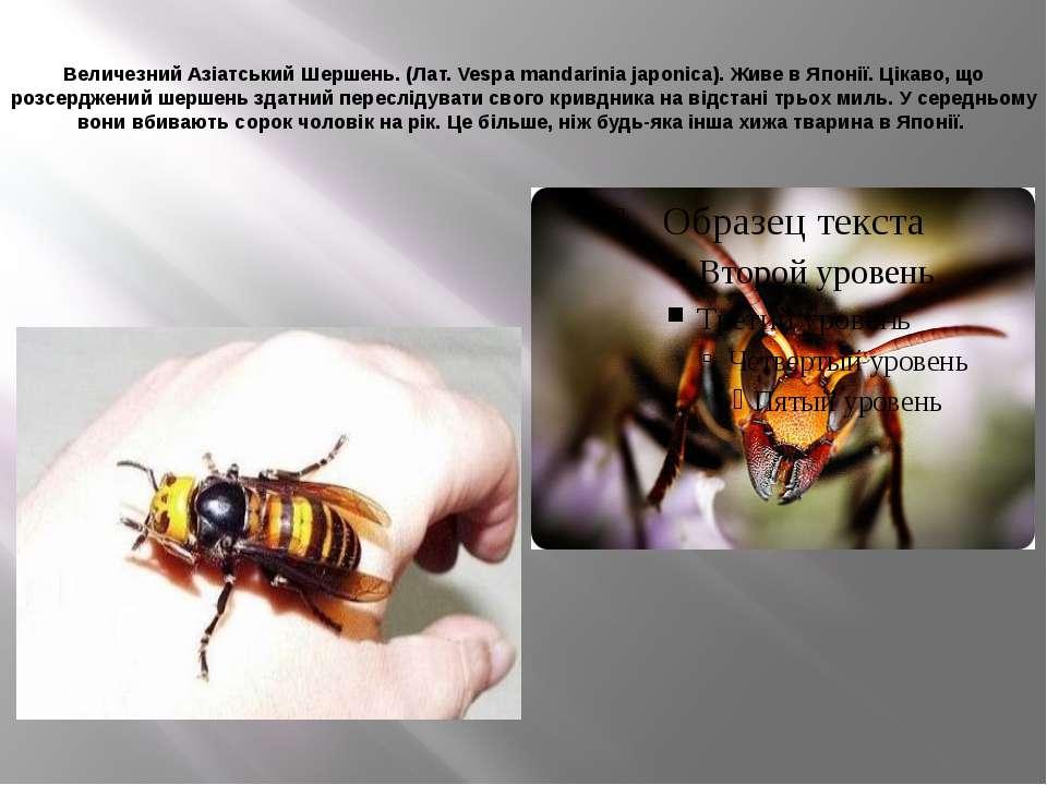 Величезний Азіатський Шершень. (Лат. Vespa mandarinia japonica). Живе в Японі...