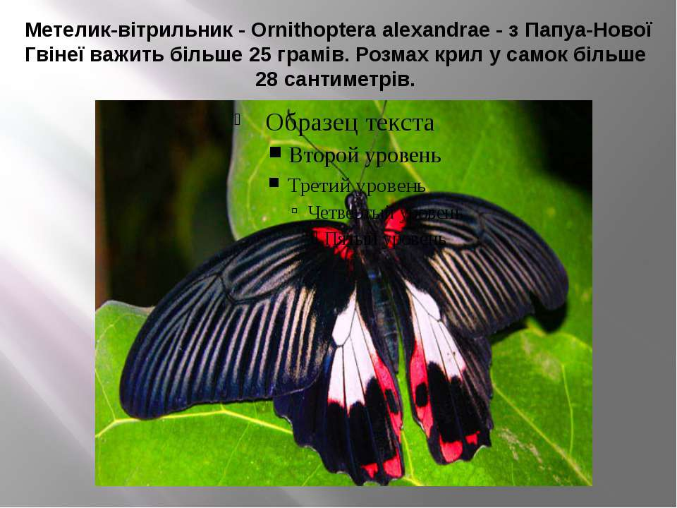 Метелик-вітрильник - Ornithoptera alexandrae - з Папуа-Нової Гвінеї важить бі...