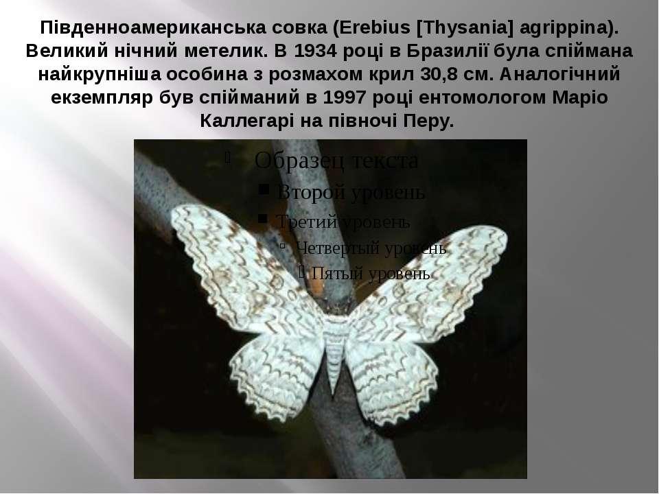 Південноамериканська совка (Erebius [Thysania] agrippina). Великий нічний мет...