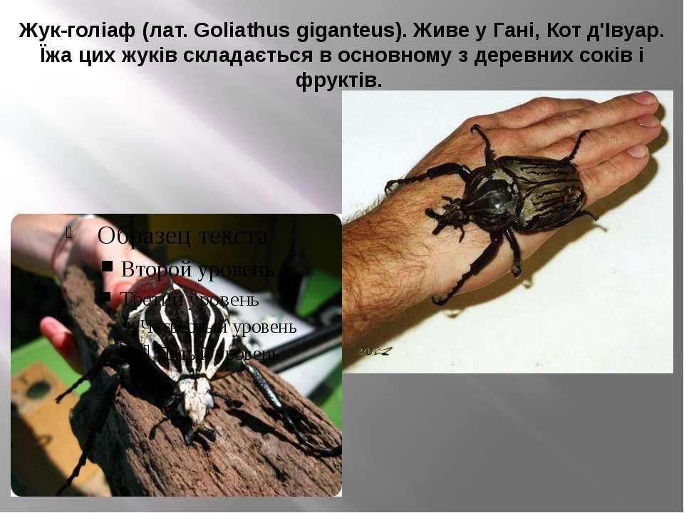 Жук-голіаф (лат. Goliathus giganteus). Живе у Гані, Кот д'Івуар. Їжа цих жукі...