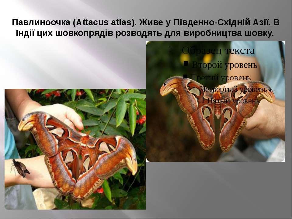 Павлиноочка (Attacus atlas). Живе у Південно-Східній Азії. В Індії цих шовкоп...
