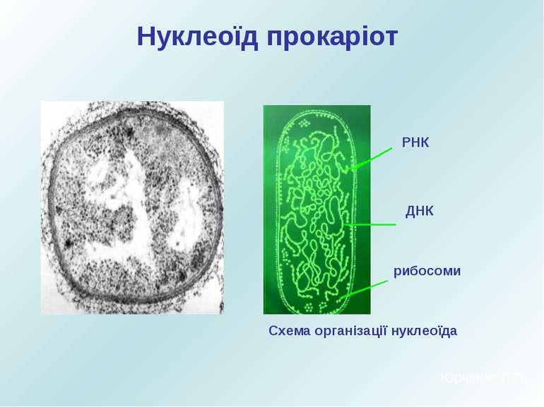 Нуклеоїд прокаріот РНК ДНК рибосоми Схема організації нуклеоїда Юрченко Л.П.