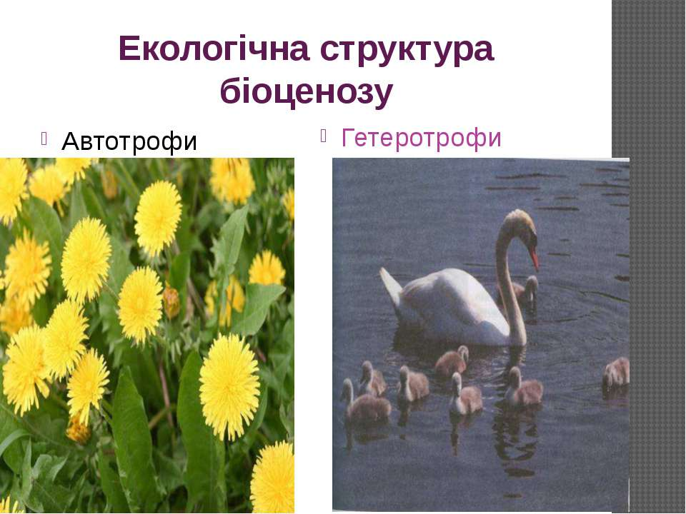 Екологічна структура біоценозу Автотрофи Гетеротрофи