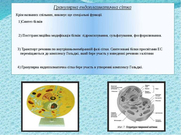 Гранулярна ендоплазматична сітка Крім названих спільних, виконує ще спеціальн...