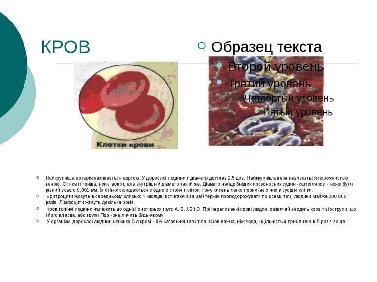 КРОВ Найкрупніша артерія називається аортою. У дорослої людини її діаметр дос...