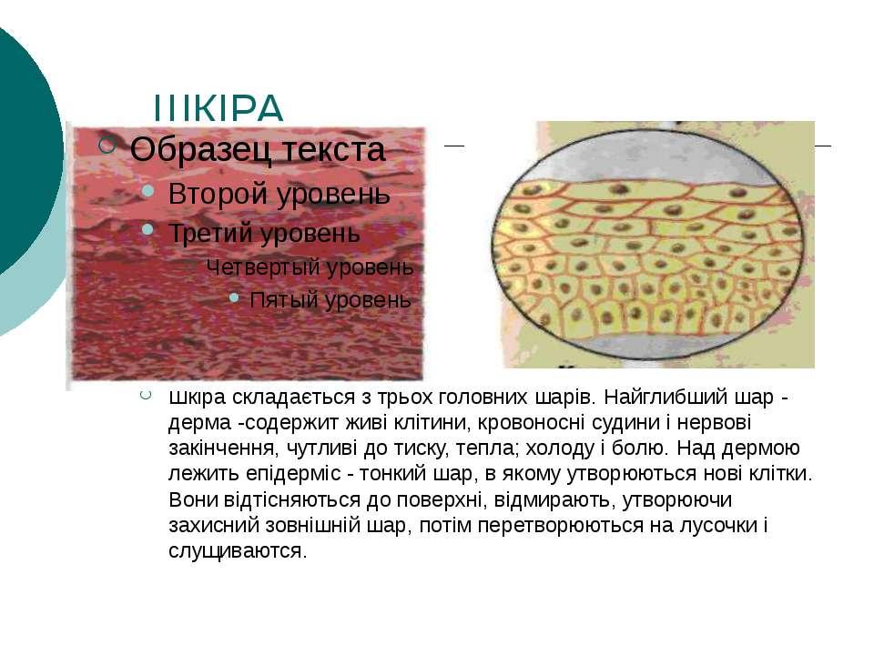ШКІРА Шкіра складається з трьох головних шарів. Найглибший шар - дерма -содер...