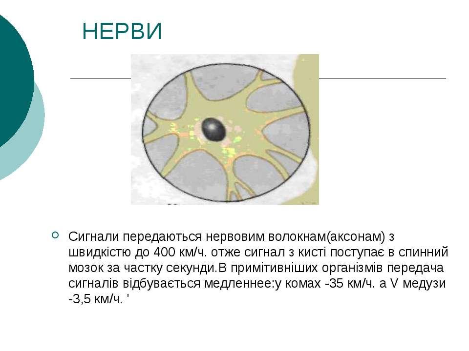 НЕРВИ Сигнали передаються нервовим волокнам(аксонам) з швидкістю до 400 км/ч....
