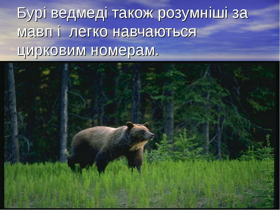 Бурі ведмеді також розумніші за мавп і легко навчаються цирковим номерам.