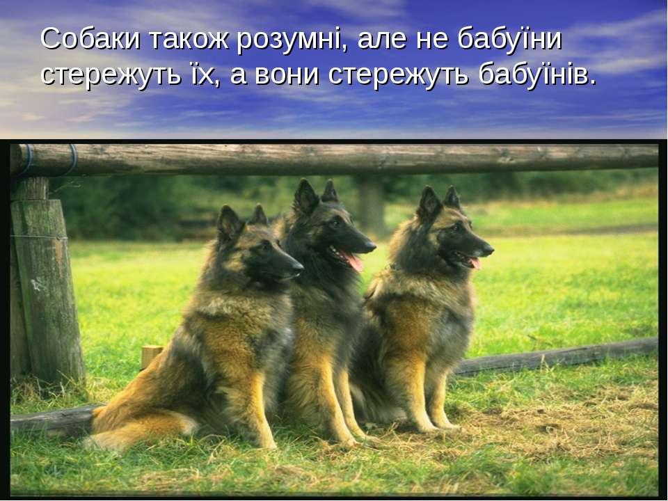 Собаки також розумні, але не бабуїни стережуть їх, а вони стережуть бабуїнів.