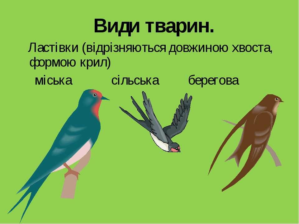 Види тварин. Ластівки (відрізняються довжиною хвоста, формою крил) міська сіл...