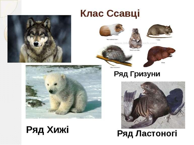 Клас Ссавці Ряд Хижі Ряд Гризуни Ряд Ластоногі