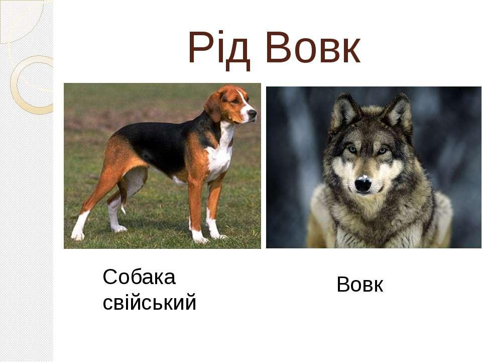 Рід Вовк Собака свійський Вовк