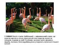 У савані безліч птахів. Найбільший — африканський страус, що втратив здатніст...