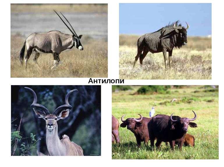 Антилопи