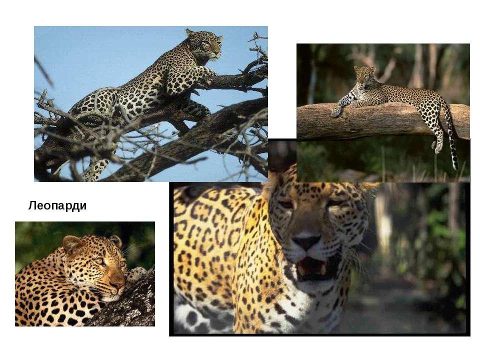 Леопарди