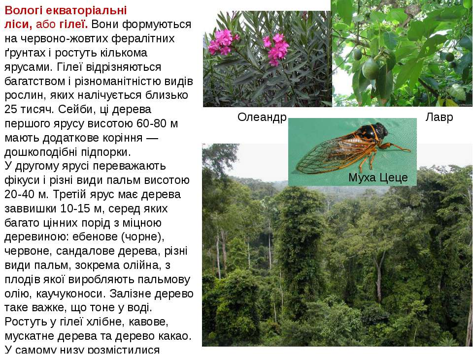 Олеандр Лавр Муха Цеце Вологі екваторіальні ліси,абогілеї.Вони формуються ...