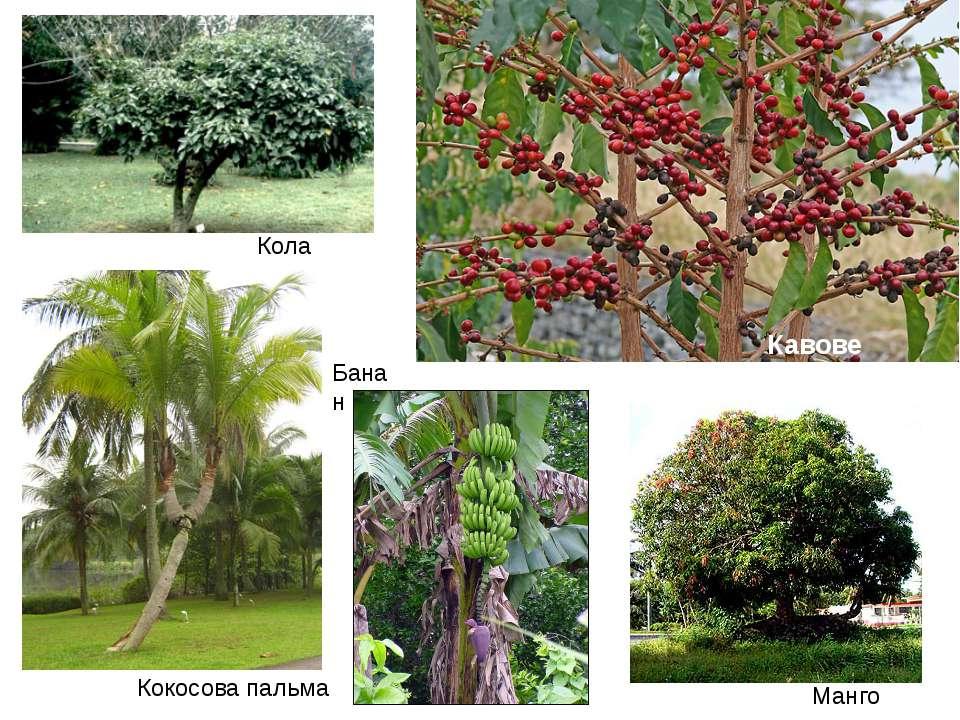 Кола Кавове дерево Кокосова пальма Манго Банан
