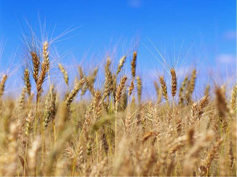 Загадка Білий хліб печуть з пшениці. З чого ж чорні паляниці.