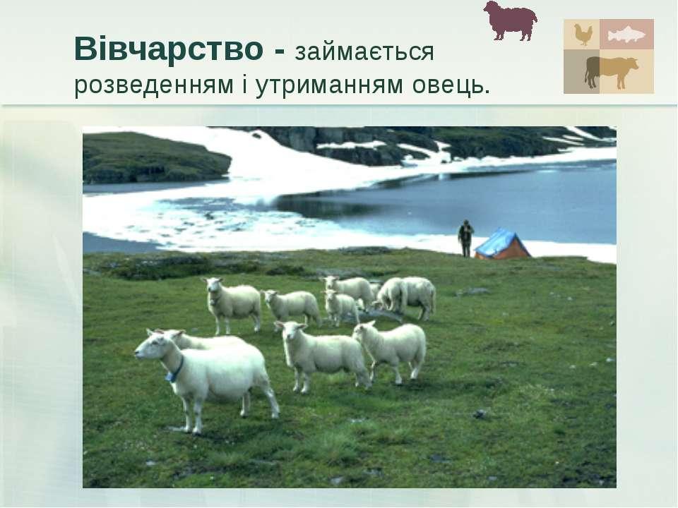 Вівчарство - займається розведенням і утриманням овець.
