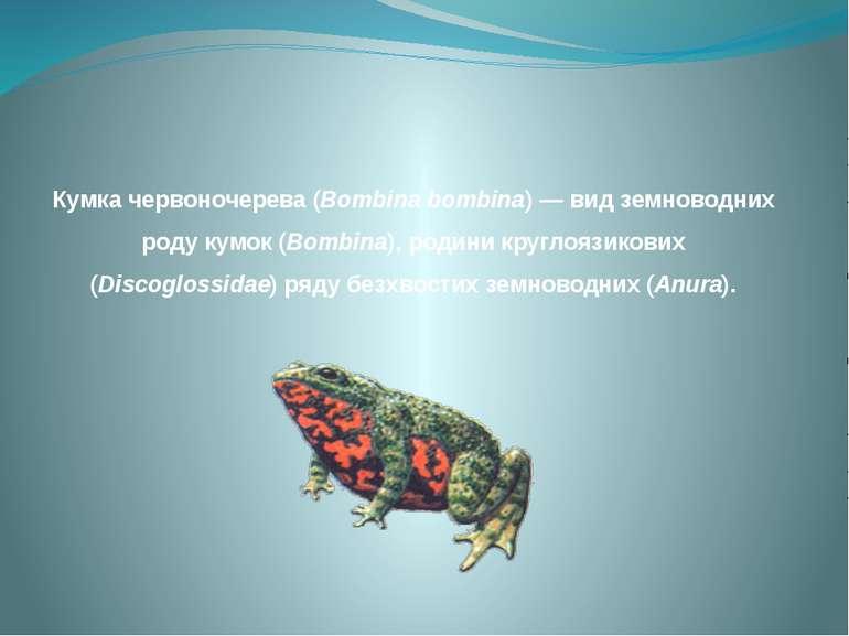 Кумка червоночерева (Bombina bombina) — вид земноводних роду кумок (Bombina),...