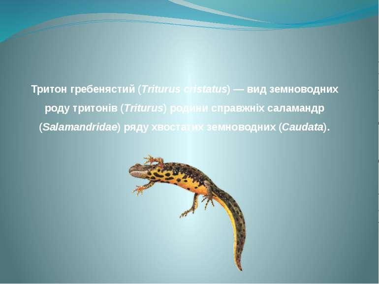 Тритон гребенястий (Triturus cristatus) — вид земноводних роду тритонів (Trit...