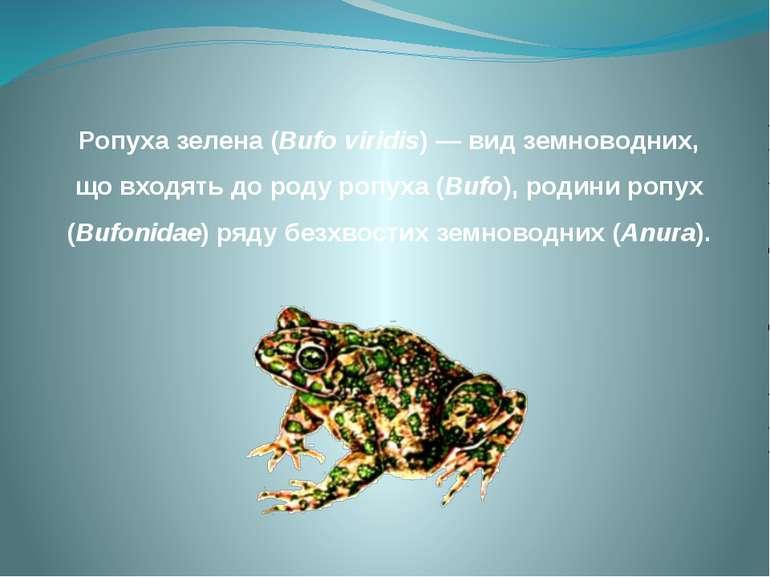 Ропуха зелена (Bufo viridis) — вид земноводних, що входять до роду ропуха (Bu...