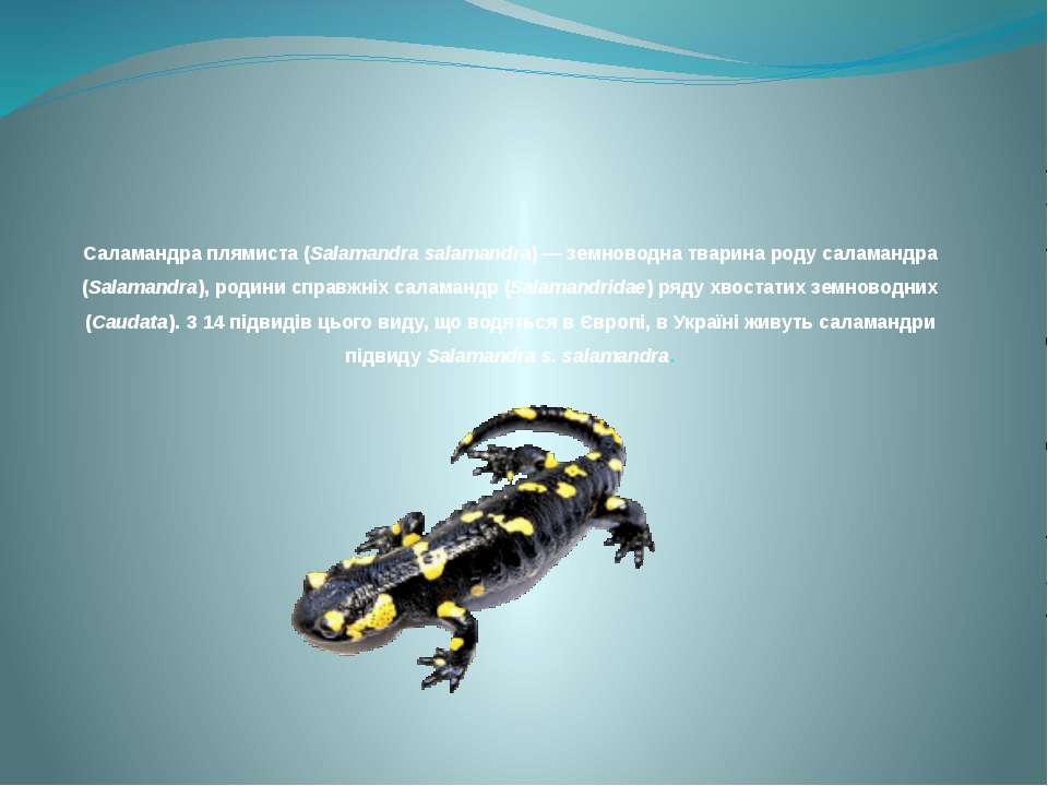 Саламандра плямиста (Salamandra salamandra) — земноводна тварина роду саламан...