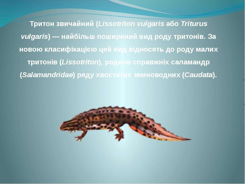 Тритон звичайний (Lissotriton vulgaris або Triturus vulgaris) — найбільш поши...