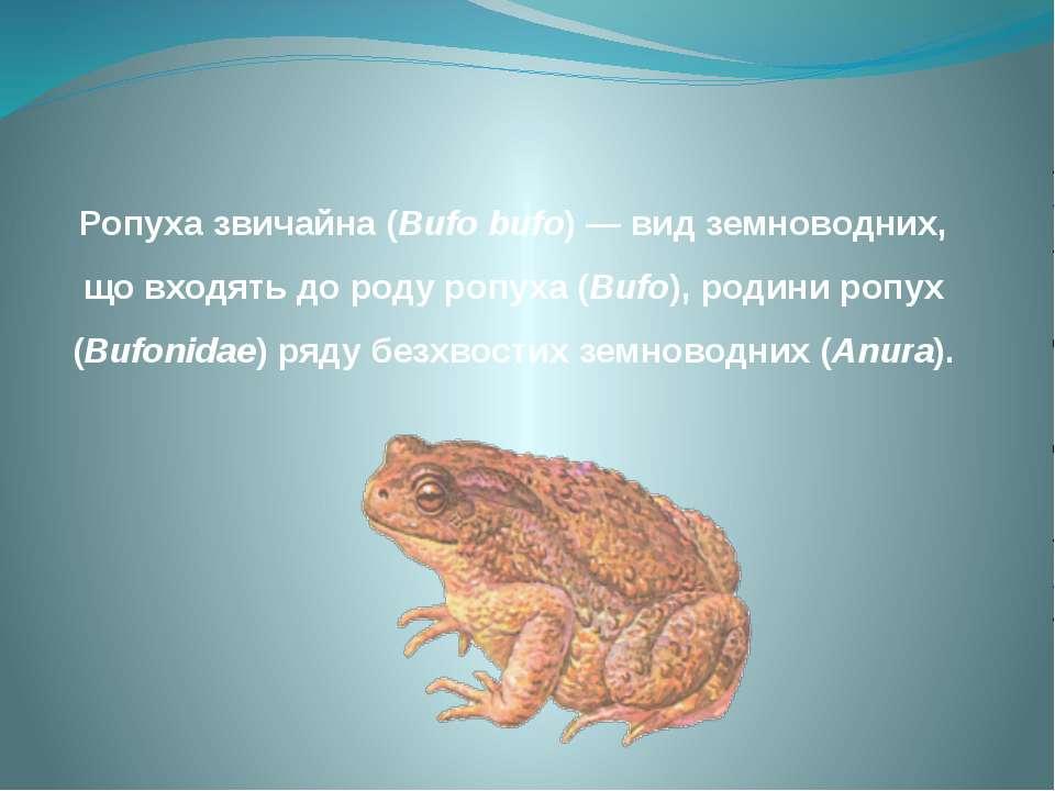 Ропуха звичайна (Bufo bufo) — вид земноводних, що входять до роду ропуха (Buf...