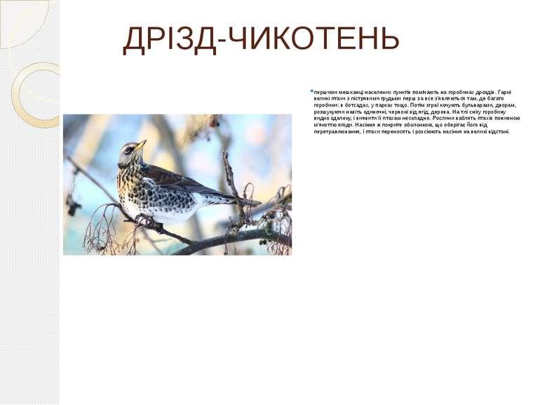 ДРІЗД-ЧИКОТЕНЬ першими мешканці населених пунктів помічають на горобинах дроз...